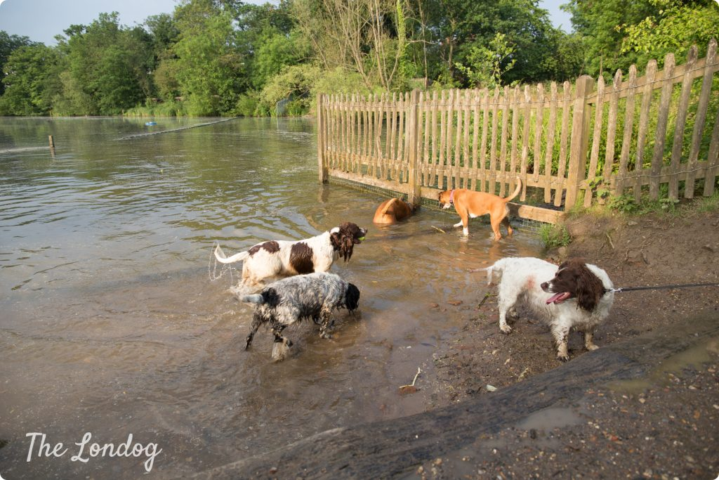 Five dogs play in the water at Hampstead Heath dog pond