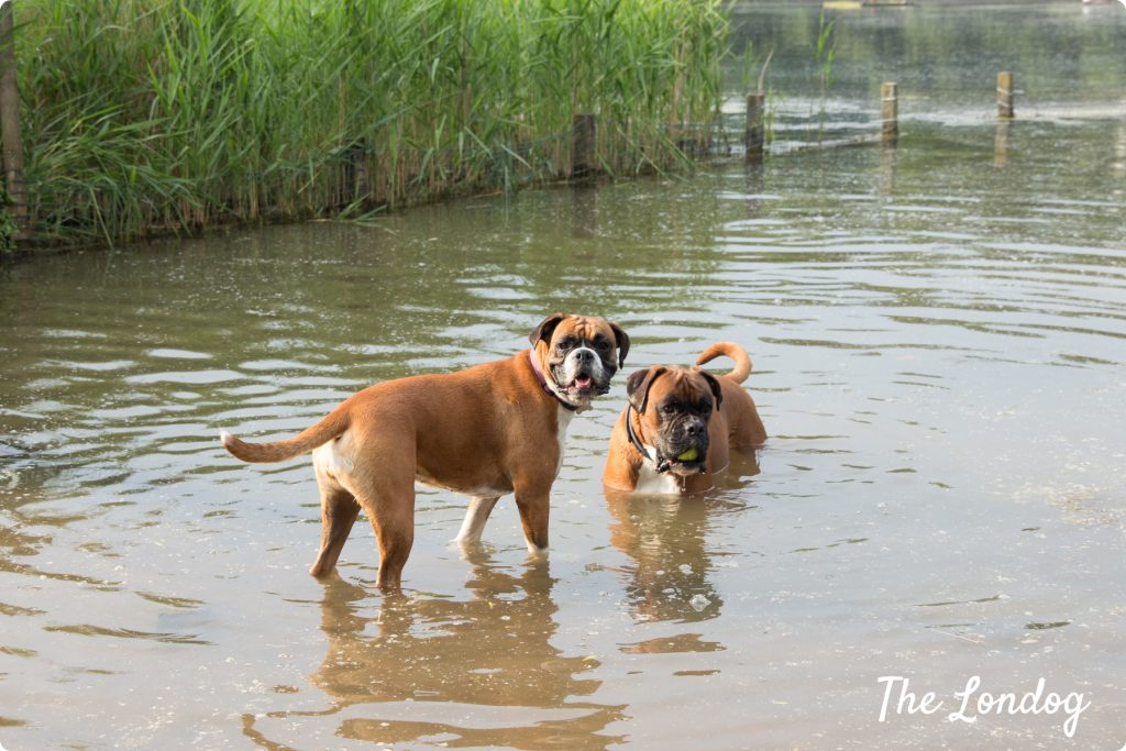 Dogs at dog pond in London