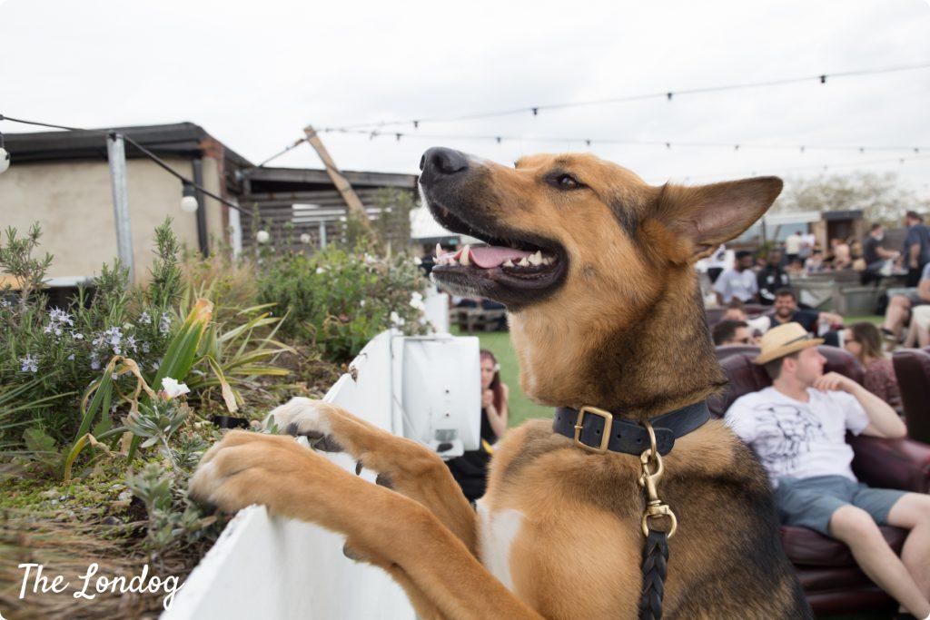 Dog at Netil360 dog-friendly rooftop