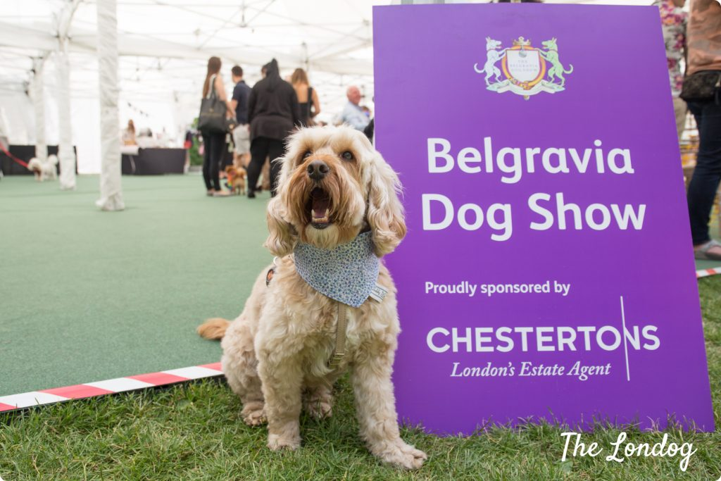 Freddie the cockapoo posing with Belgravia Dog Show 2018 sign