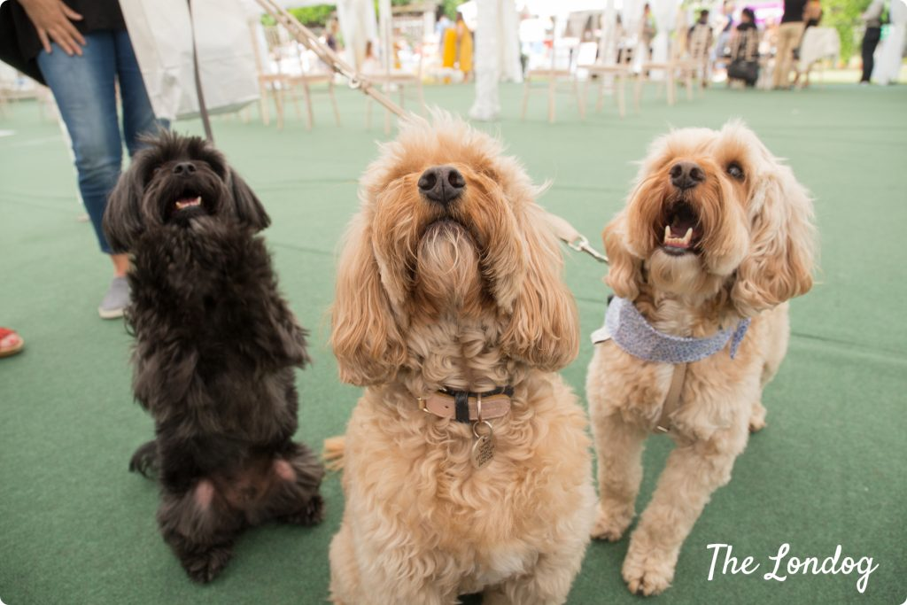 Belgravia Dog Show 2018 Freddie Darcy and Georgie