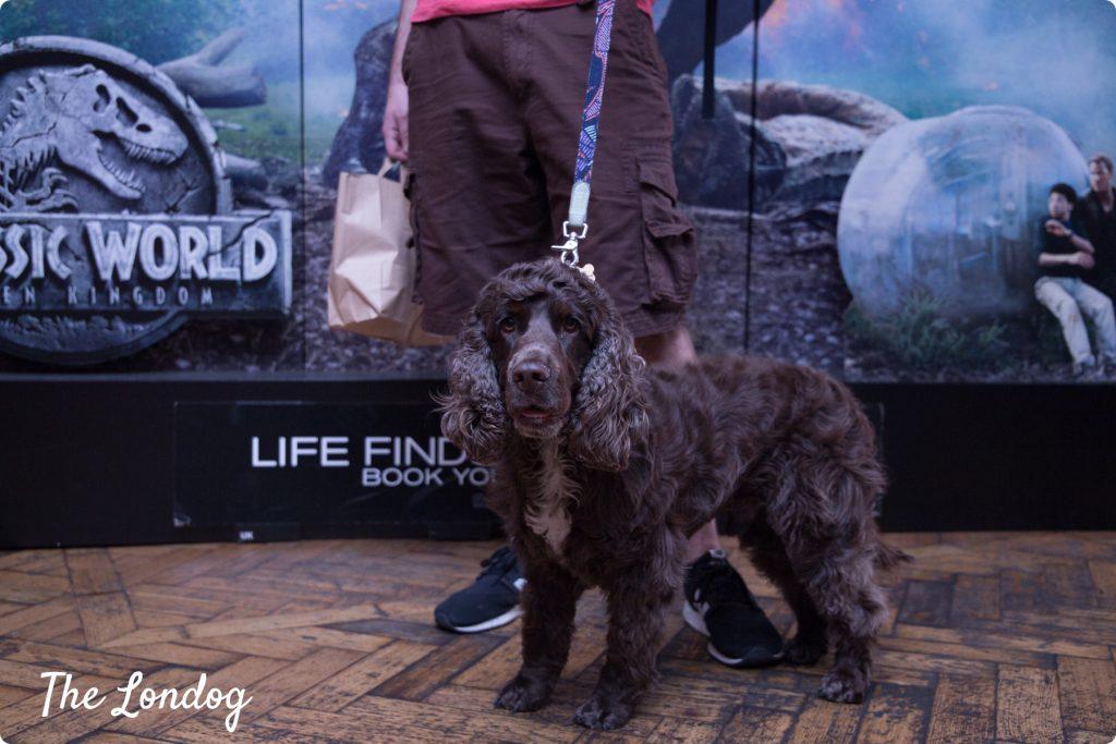 Cocker inside the cinema for dog-friendly screeening in London