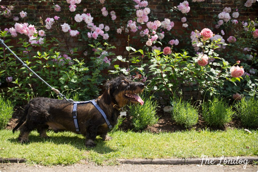 Dachshund at the Rose Garden at Hampton-Court