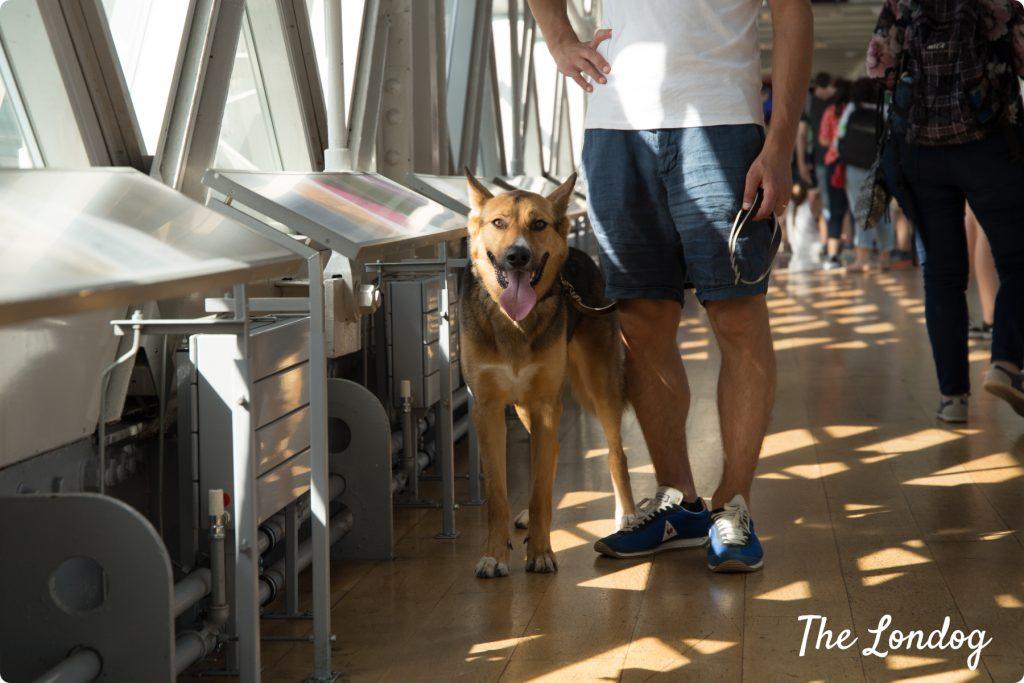 Dog walking at Tower Bridge Exhibition walkways