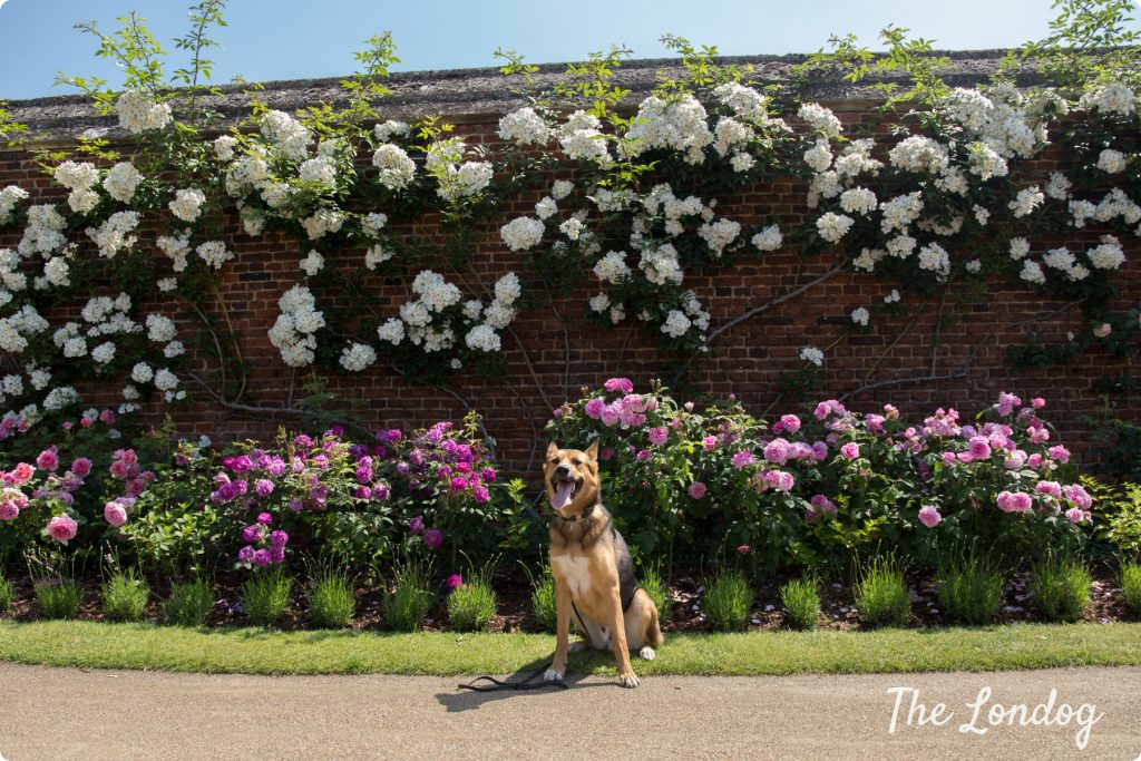 Dog at Hampton Court Palace garden