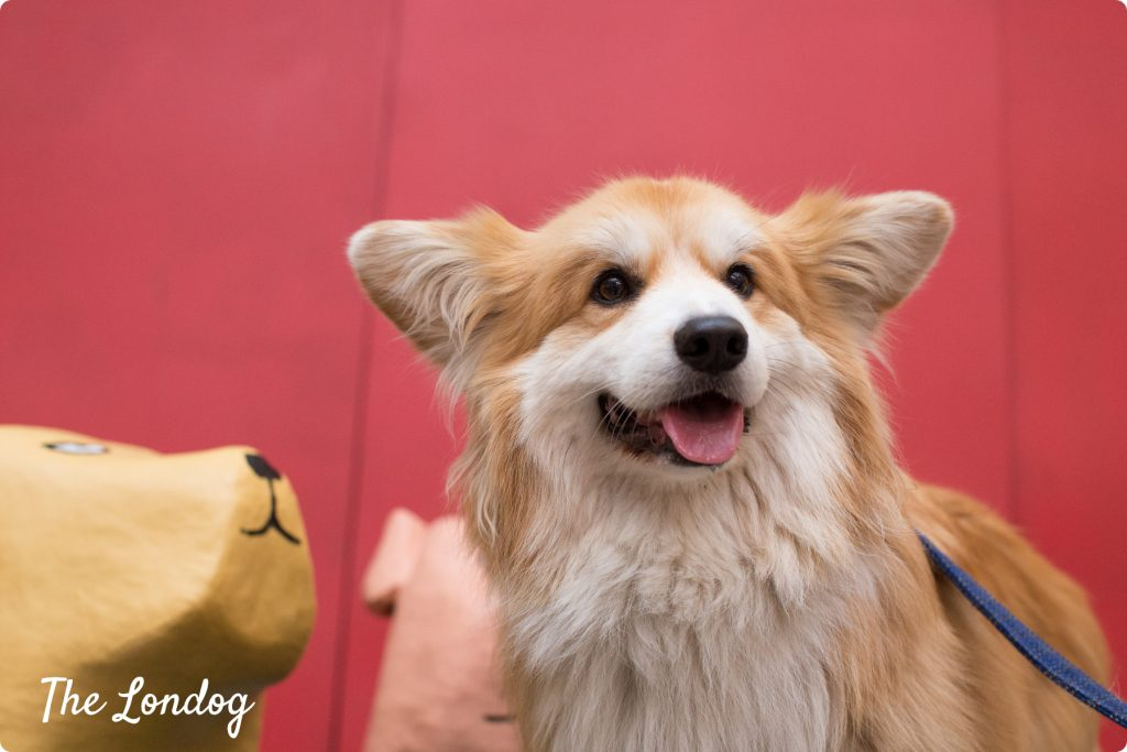 Marcel Le Corgi at Dodgy Dogs launch