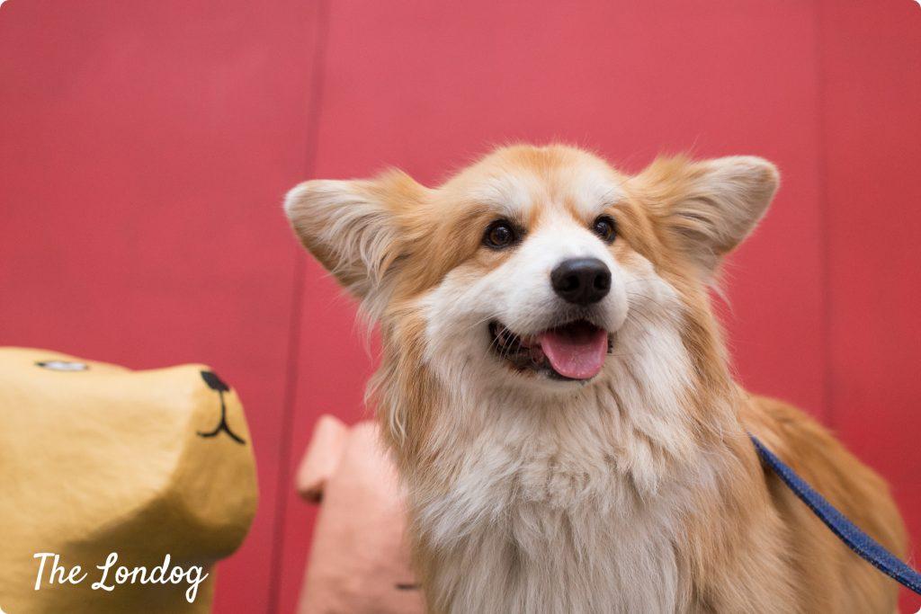 Marcel Le Corgi at Dodgy Dogs launch