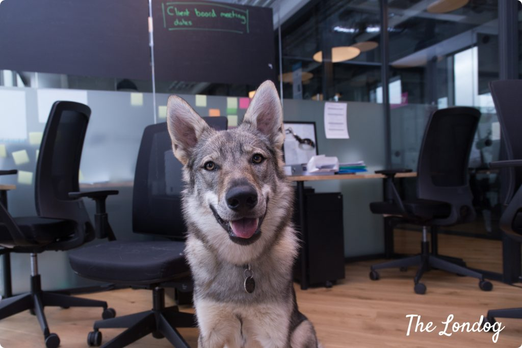 Office dog wolfdog