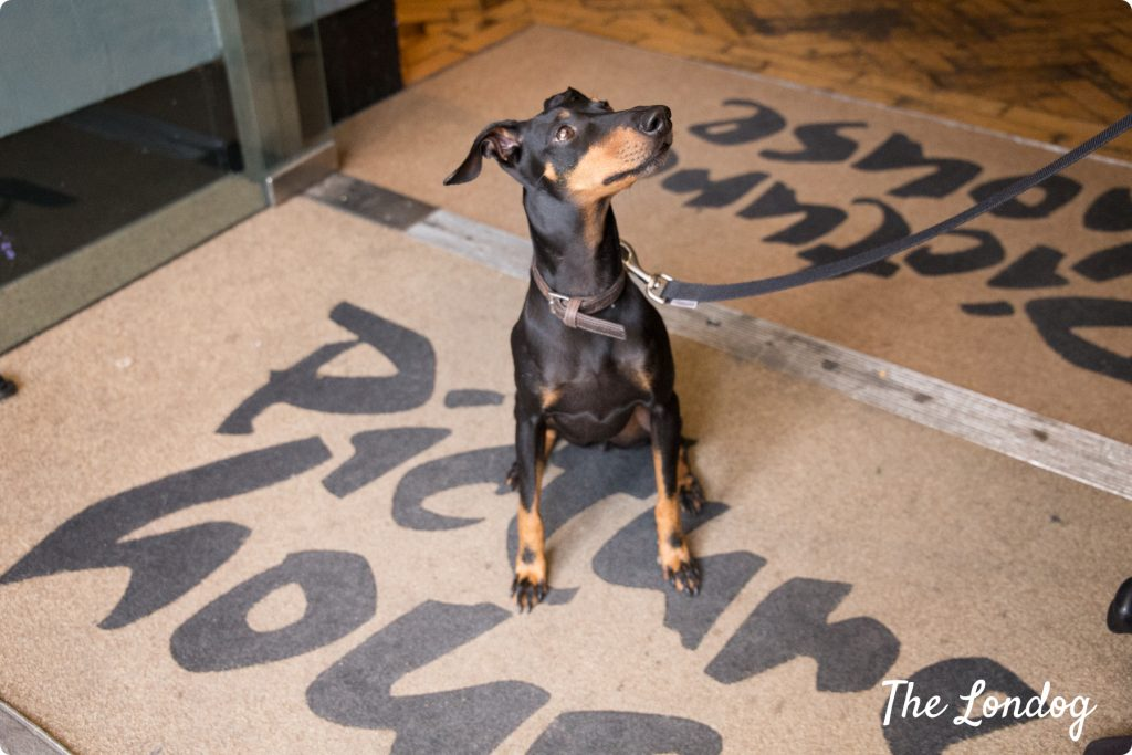 Picher dog waits on carpet at Clapham Picturehouse for the dog-friendly cinema screening