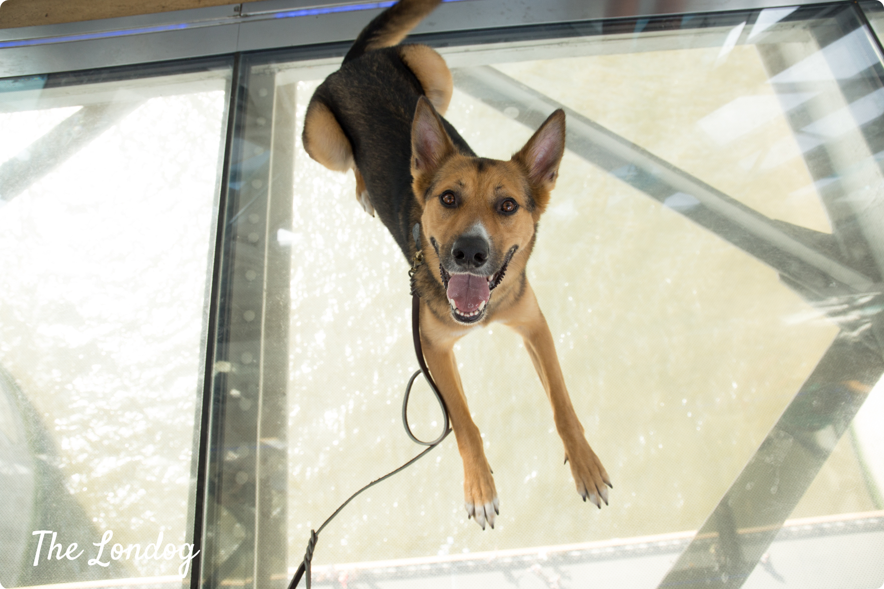 dog laying down on Tower Bridge glass floor