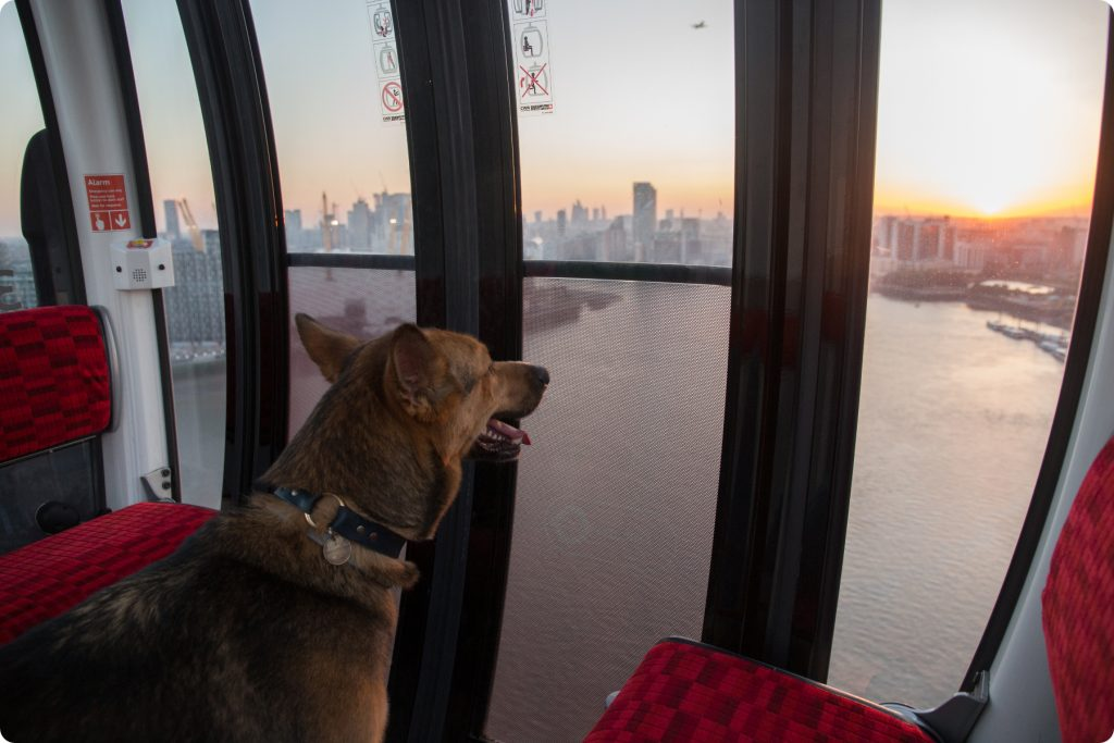 Dog looking at sunset from Emirates Air Line cable car