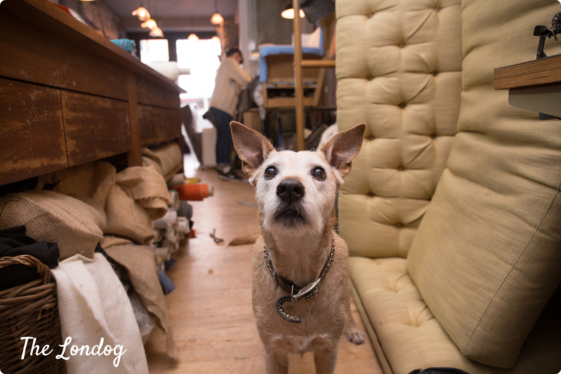 Office Dog Rudy of 7Upholstery in London