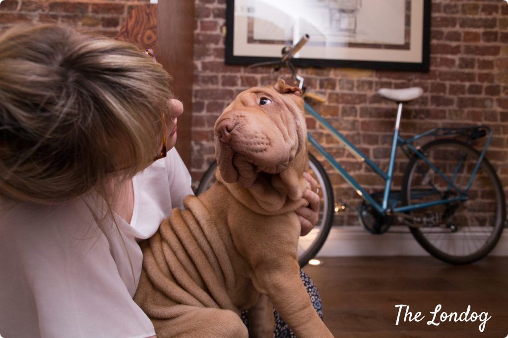 Shar pei office dog London