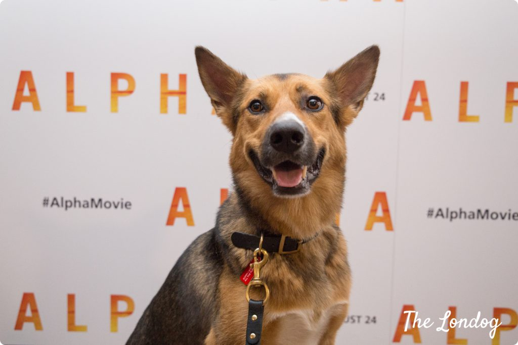 Argo the dog at the gala cinema screening of Alpha movie