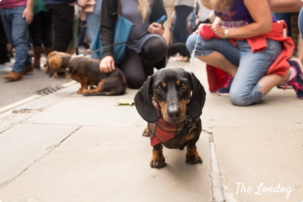 Dachshund at the Sausage Dog Parade