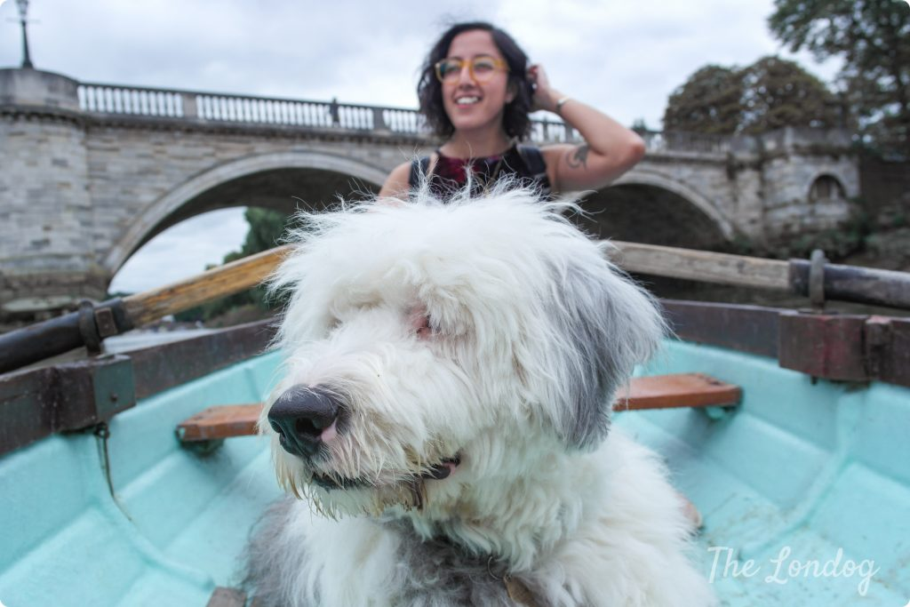 Old English Sheep dog on dog-friendly a rowing boat in West London