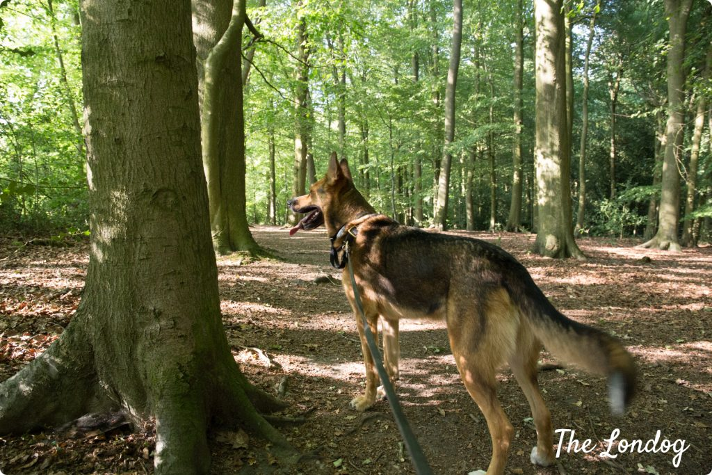 Dog in the woods in the Chilterns