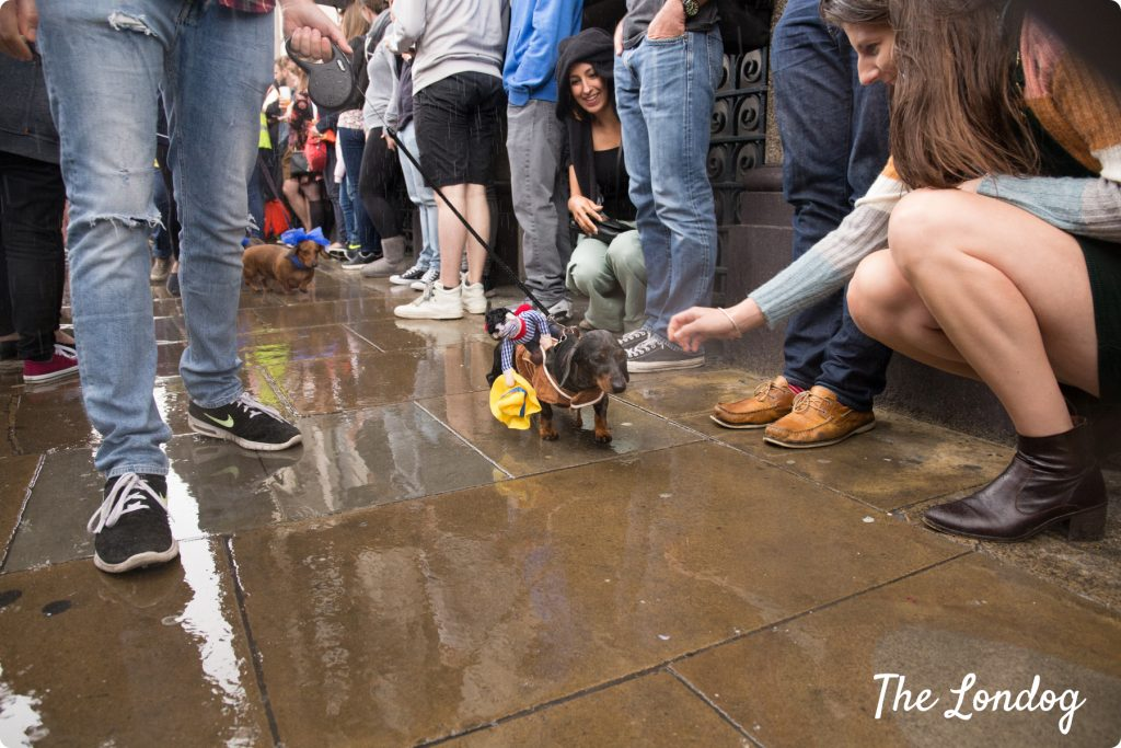 Dogs walking under the rain at the Sausage Dog Parade