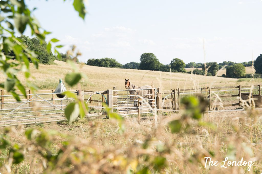 Horse in the countryside in The Chilterns