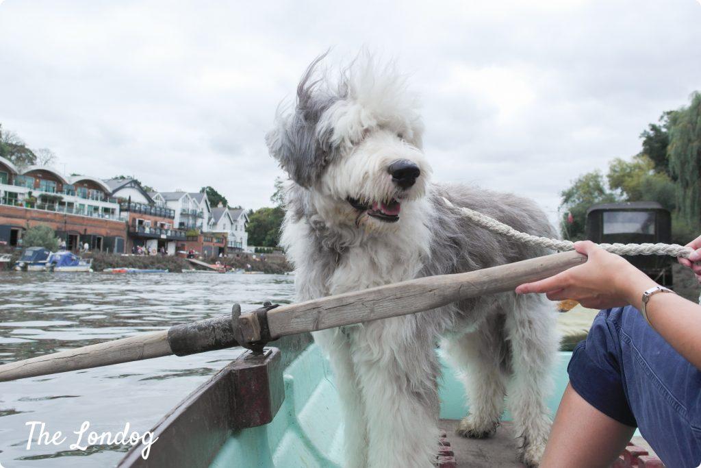 dog on thames on boat