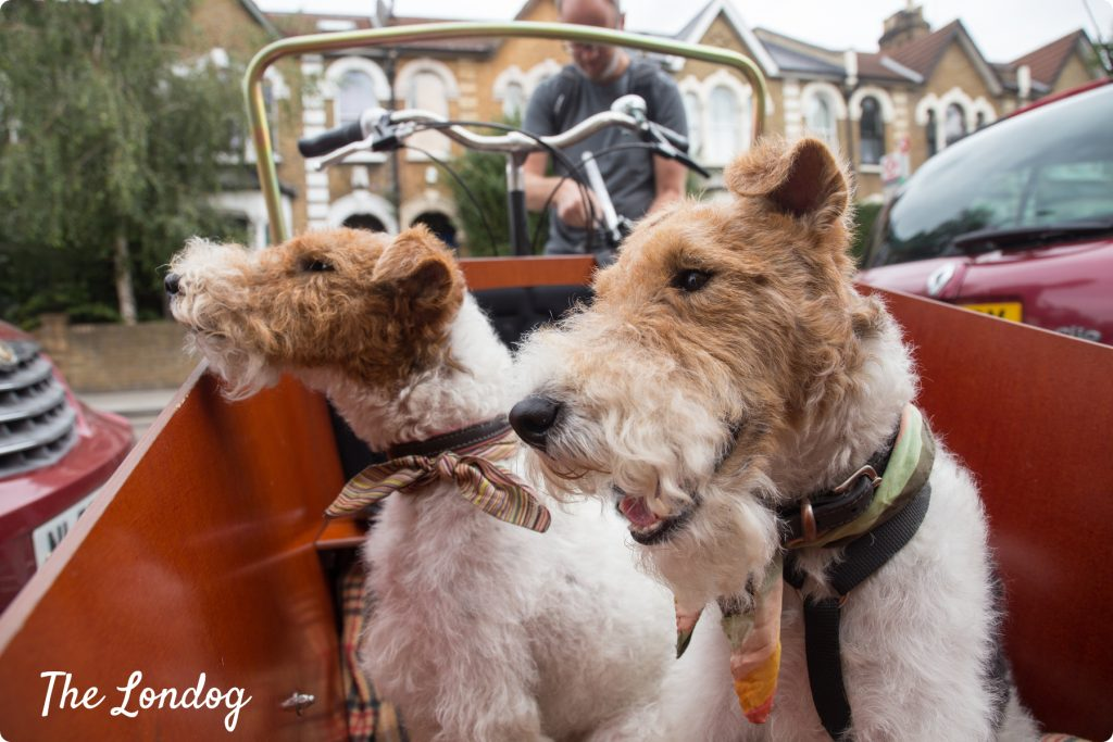Two fox terriers in the bike box before departing