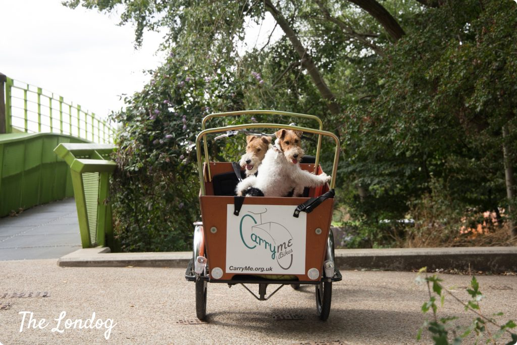 Fox terriers on CarryMe Bike dog-friendly cargo trike
