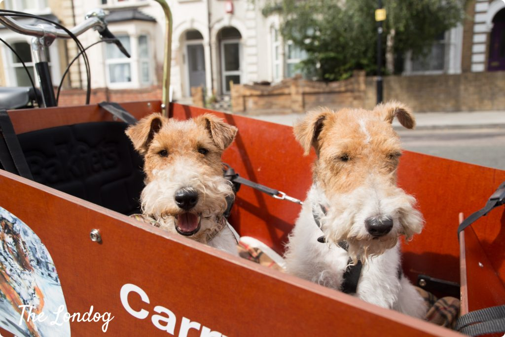 Fox terriers on a bike