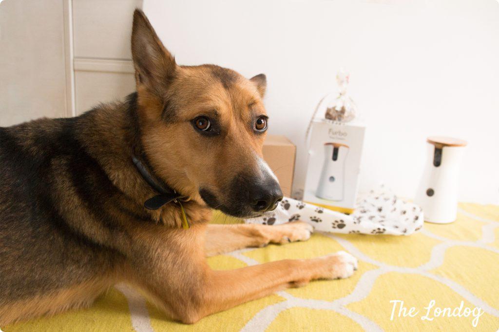 Dog waits for Furbo Camera set up
