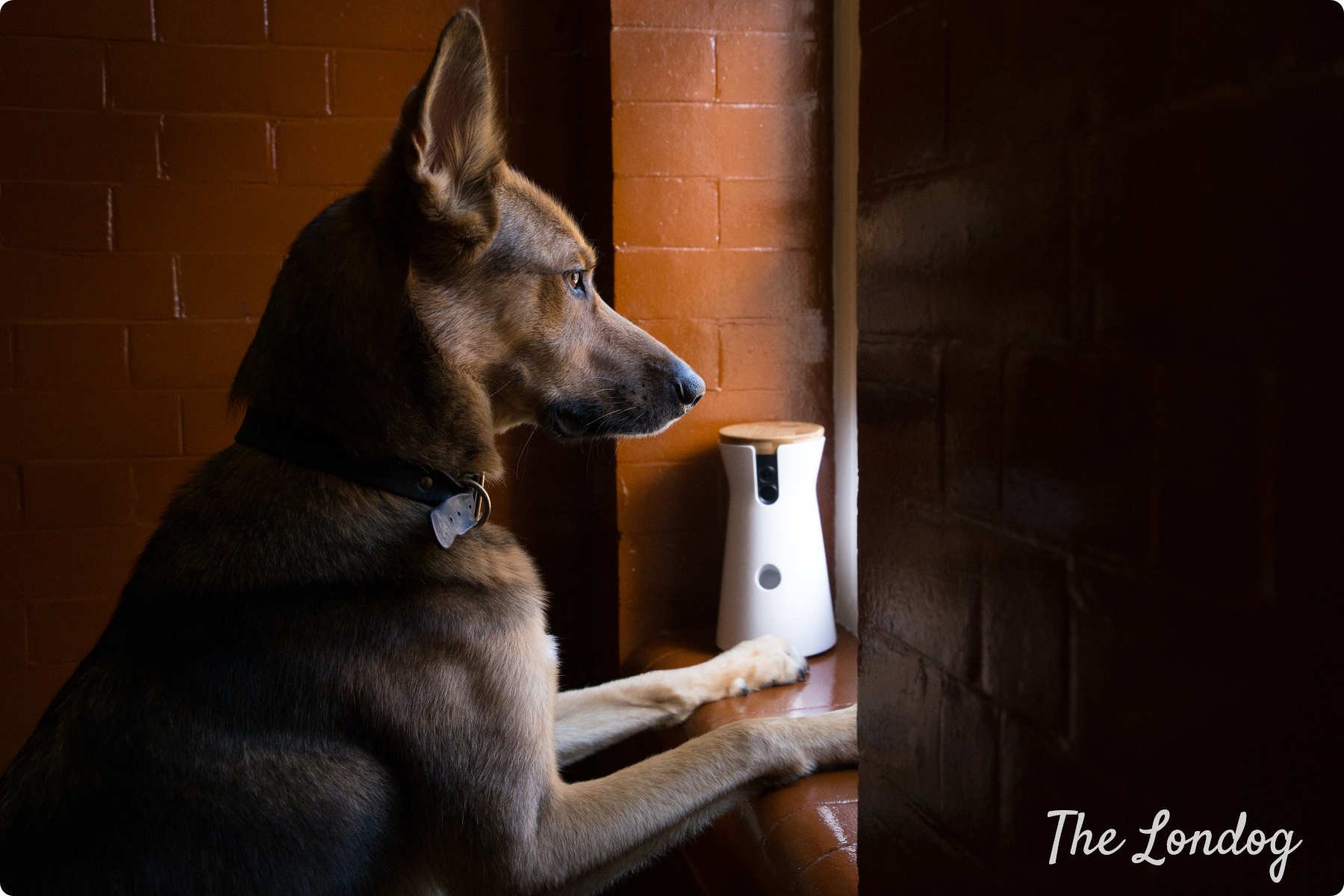 Dog looking out of the window with Furbo Dog Camera