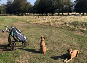 Dogs and deer on dog-friendly golf course in London