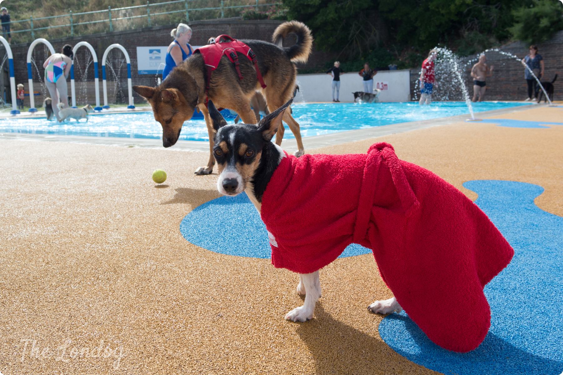Little and large Dogs at dog swim