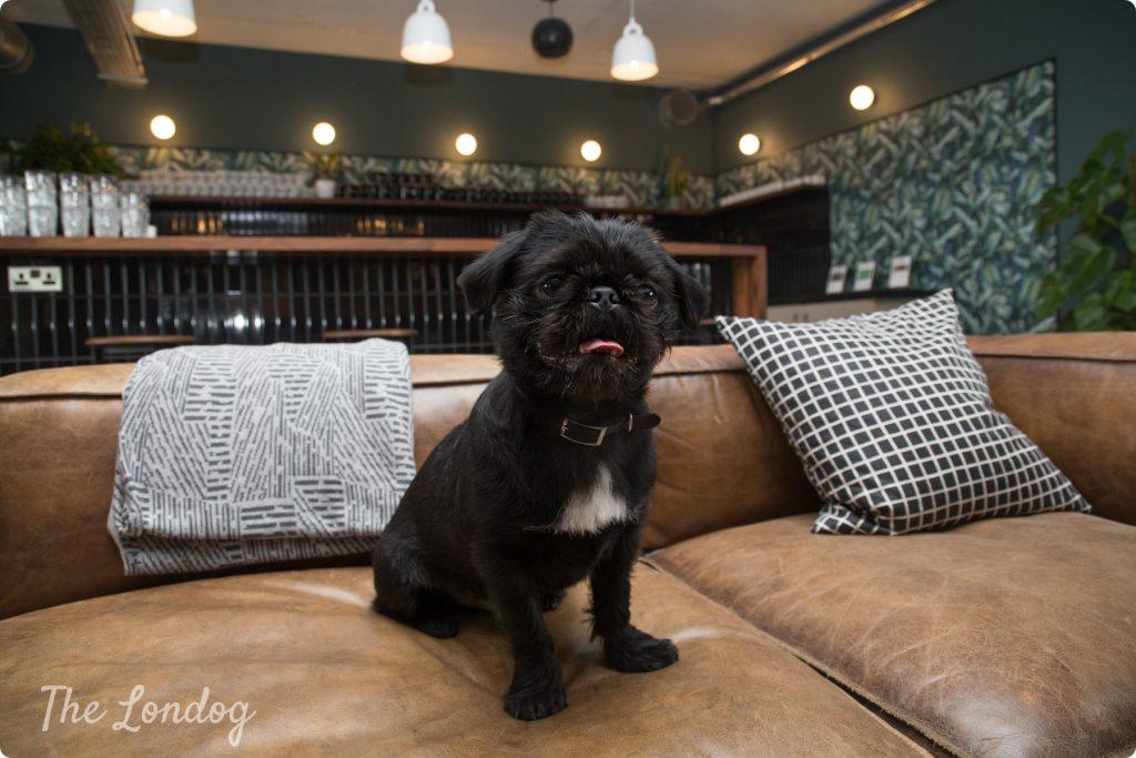 Monty the pug shitzu office dog at WeWork