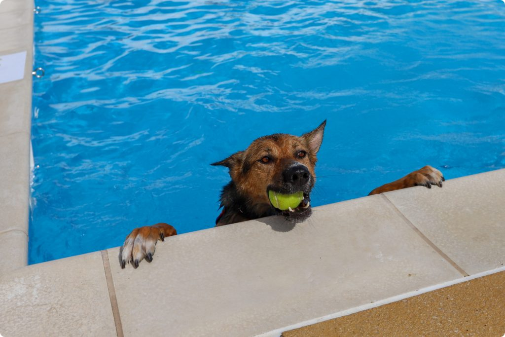 Dog with tennis ball in swimming pool at Saltdean Lido