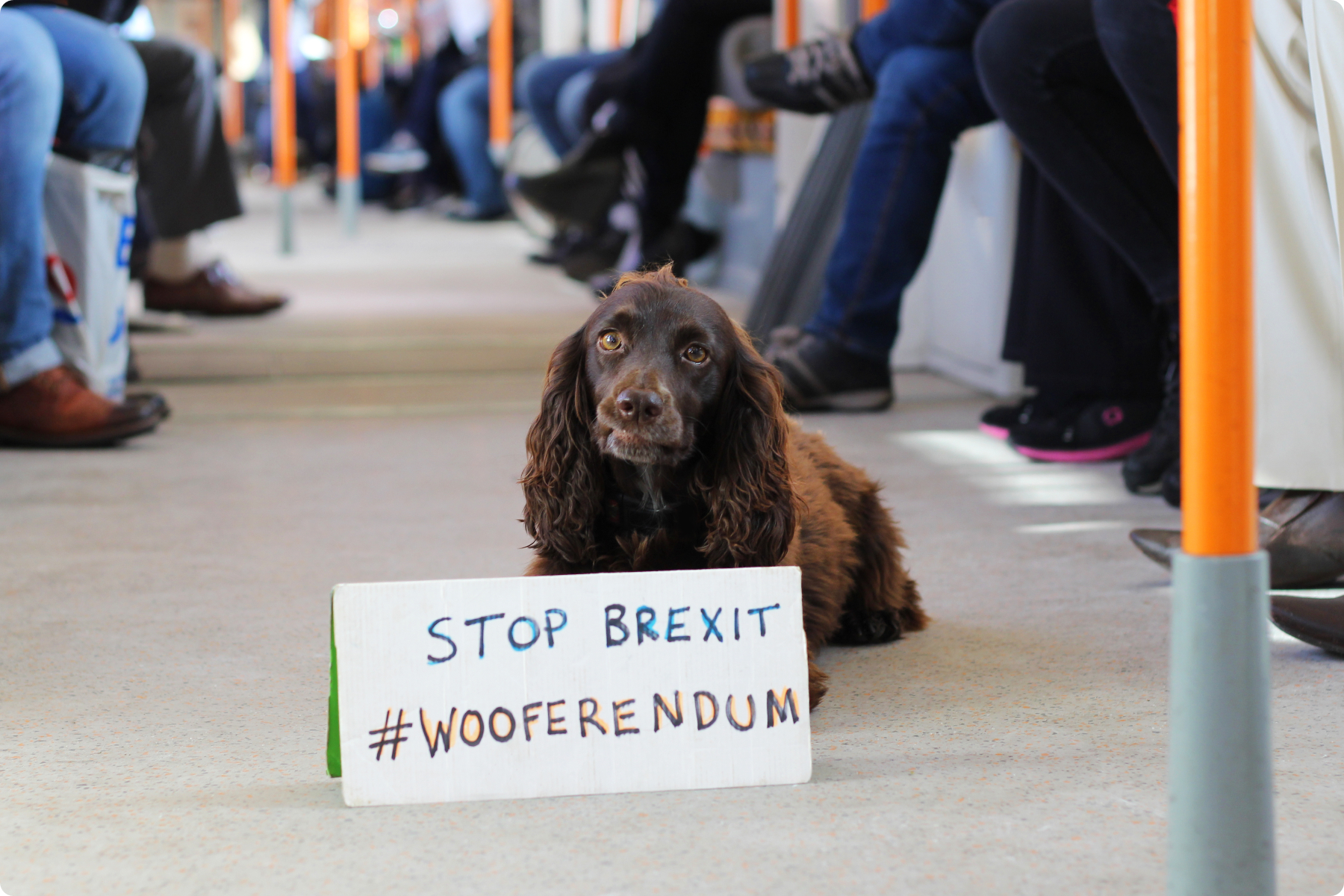 Spaniel in the overground #Wooferendum