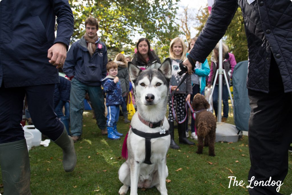 husky at Chiswick house dog show