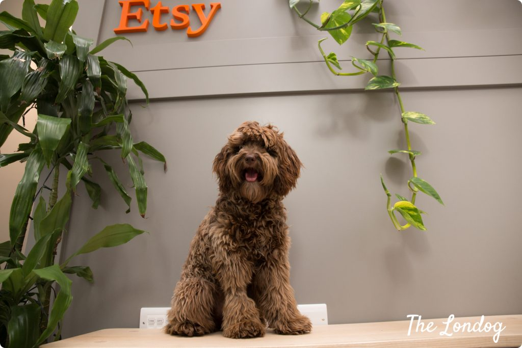 Blue the cockapoo office dog of Etsy on a bench