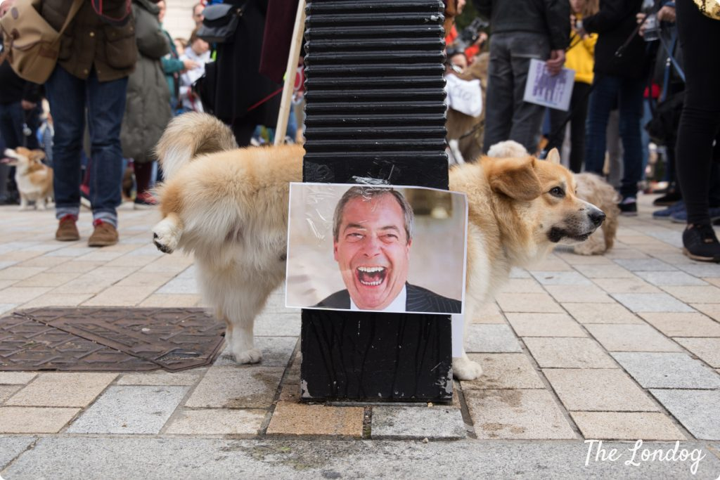 Corgi dog pees on photo of Nigel Farage