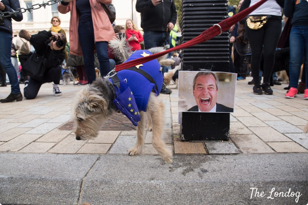 Small dog dressed with European flag pees on photo of Nigel Farage at the Wooferendum march