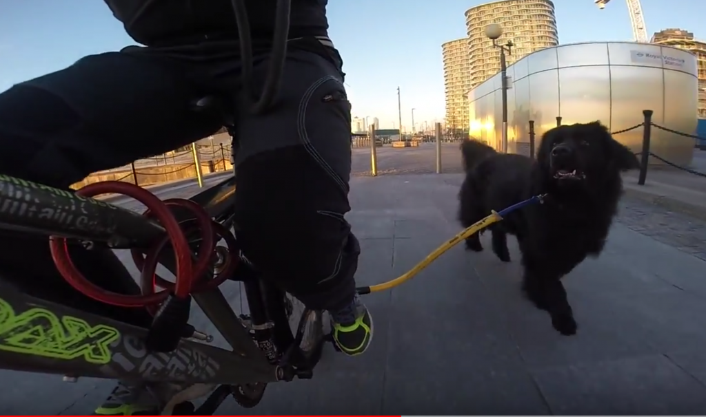 Lily the newfoundland runs along the bike with her bike special leash
