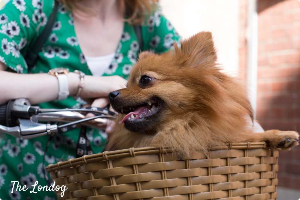London dog on a bike in a basket