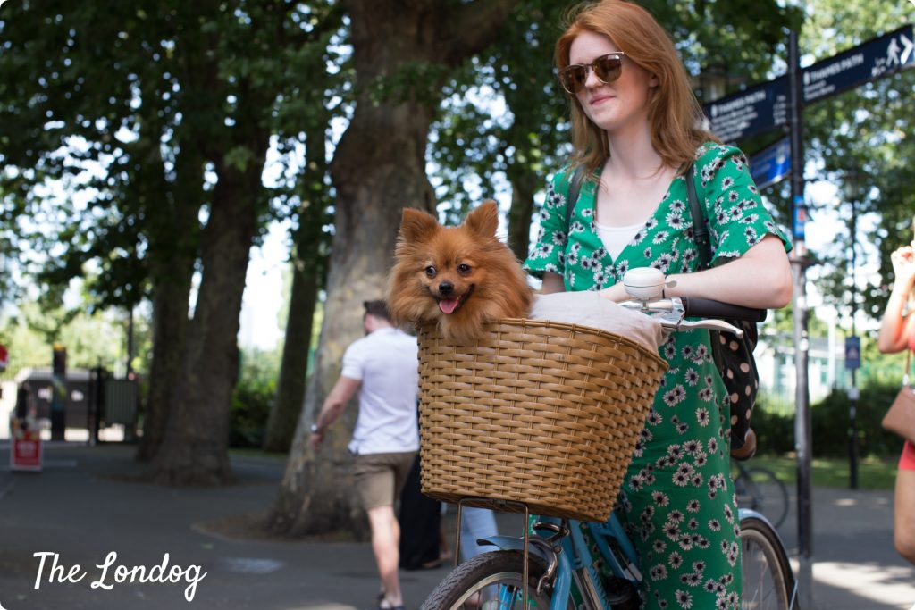 Small dog in bike basket