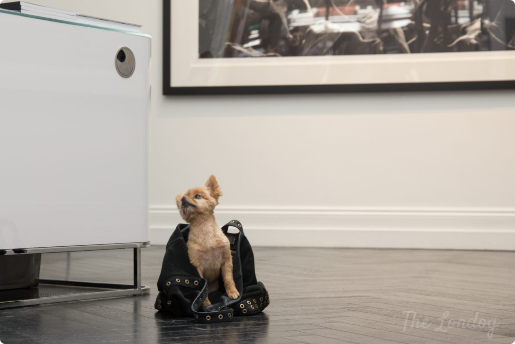 Small dog in leather bag at art gallery