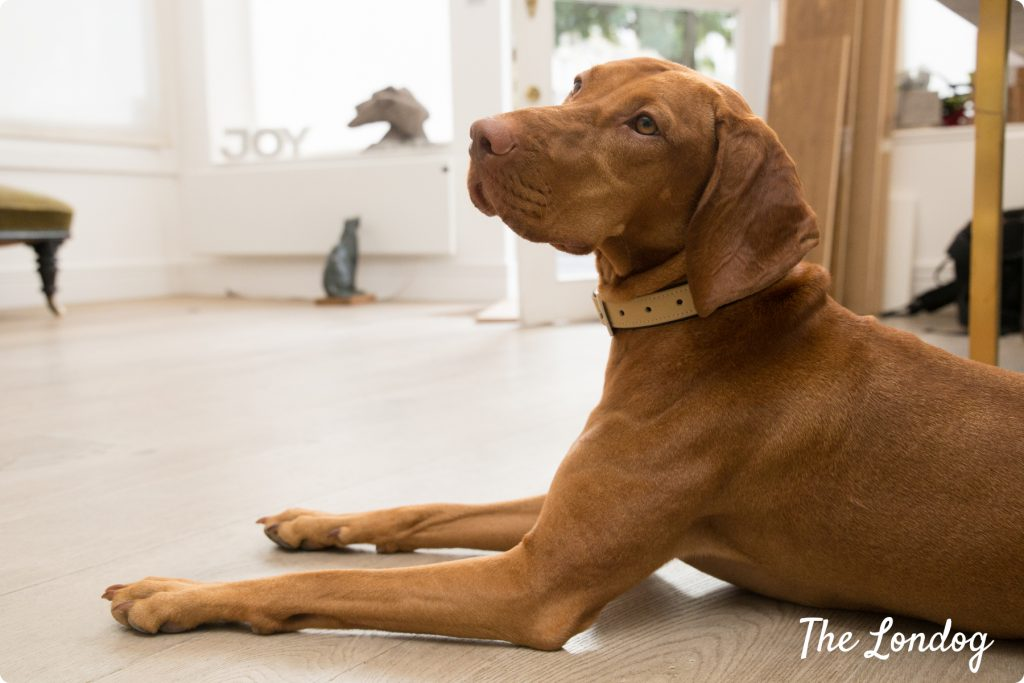 Vizla office dog on the floor