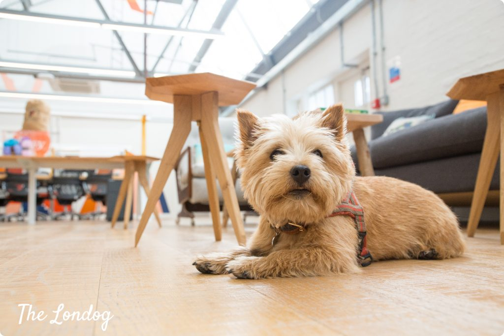 Small office dog lays down on the floorat Etsy office in London