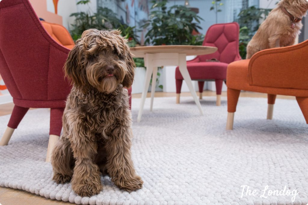 Cockapoo office dog of Etsy sits on the carpet at the office