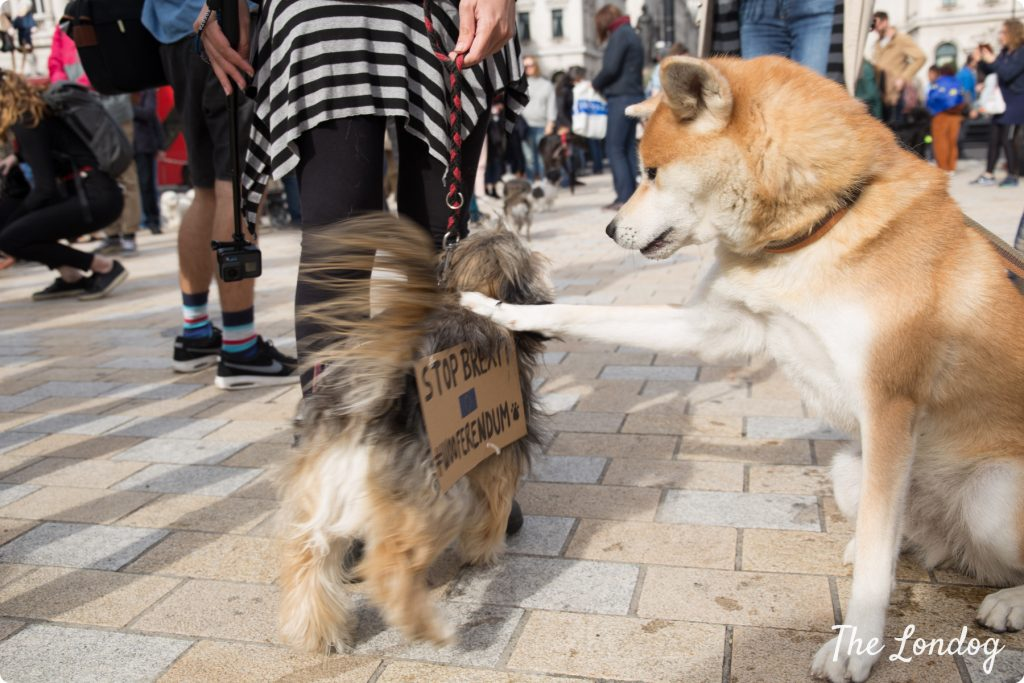 Shiba inu dog puts paw on other dog's back at Wooferendum march