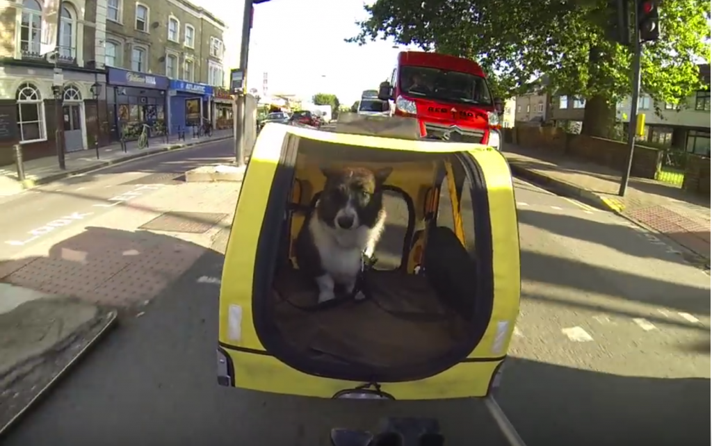 Luna the corgi in a dog bike trailer