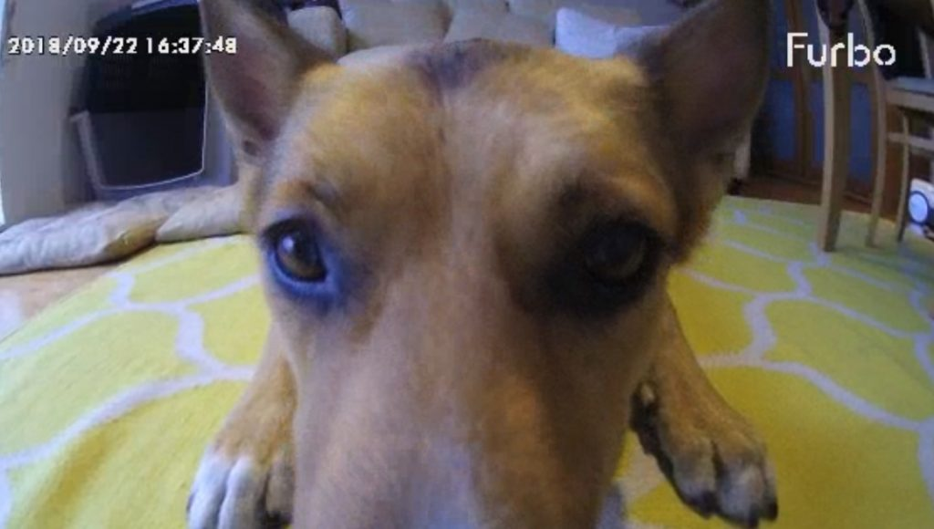 Dog interacting with Furbo camera
