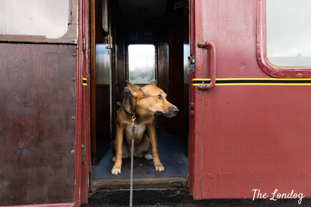 Dog peeking out from historic train