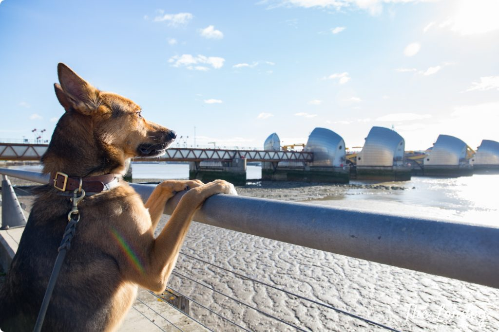 Dog looks at Thames Barriers